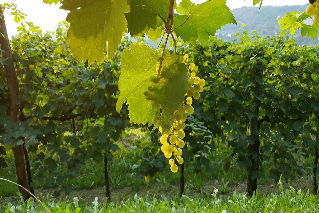Azienda vinicola Pepe Rocco
